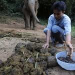 Elefánt ürülékből nyerik ki a világ legdrágább kávéját