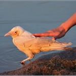 Fehér holló – Ritka és különleges madár