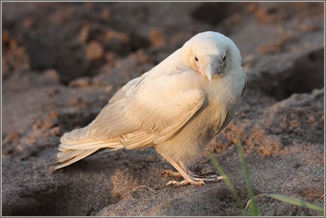 Fehér holló