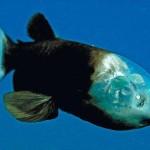 A különös hordószemű hal