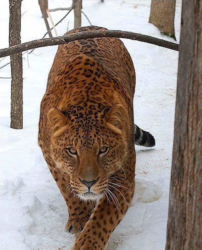 Panthera hibrid