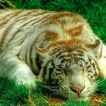 Panthera hibridek – Igazán különleges nagymacskák