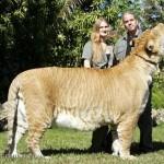 Liger – A világ legnagyobb macskaféléje