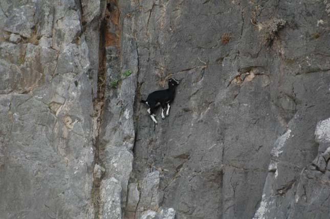hegyi kecske