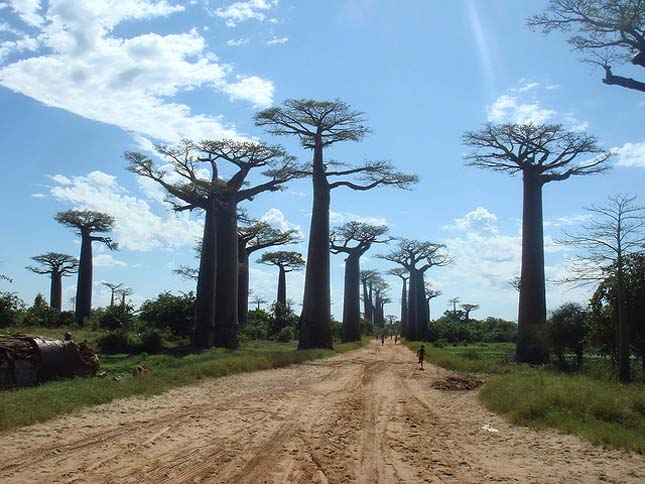 Baobab út