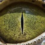 Állati szemek közvetlen közelről