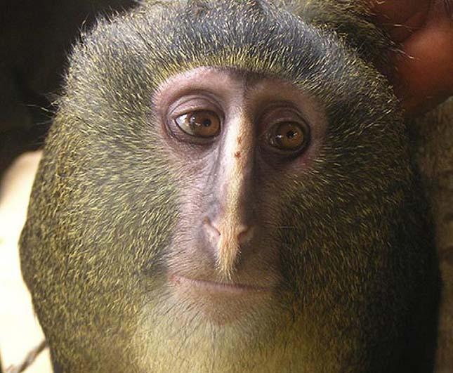 Lesula majom