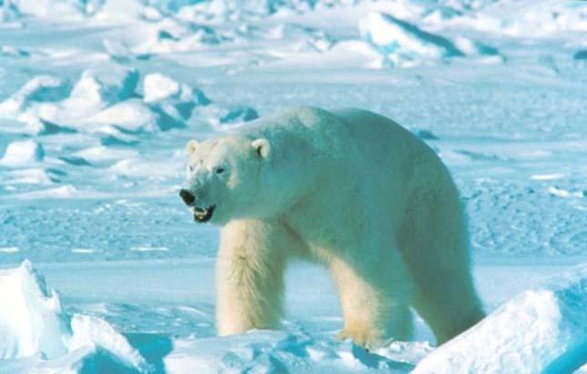 Nagy Arctic