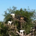 Fán legelésző kecskék Marokkóban