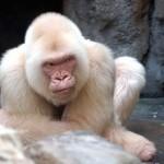 Kiderítették a világ egyetlen fehér gorillájának rejtélyét