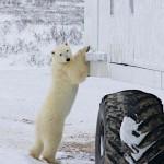 Churchill – a jegesmedvék fővárosa