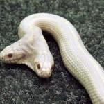 Albínó, kétfejű kígyó egy ukrán állatkertben