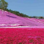 A látványos shibazakura virágzás Japánban