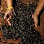 Több mint 4000 skorpióval él együtt egy thaiföldi férfi