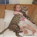 Szavanna macska