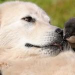 Juhászkutyák mentik meg a veszélyeztetett törpepingvineket Ausztráliában