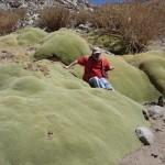 3000 évig is élhet az Andok örökzöld növénye, a yareta