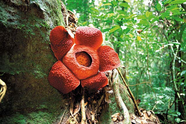 Rafflesia tuan-mudae
