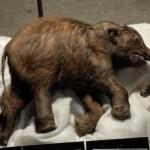 Lyuba – a 39 ezer éves mamutbébi