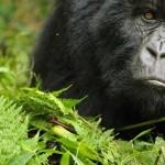 Az olajfeltárás áldozatai lehetnek Kongó ritka hegyi gorillái