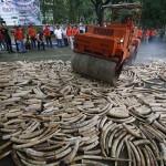 10 millió dollár értékű elefántcsontot semmisítettek meg