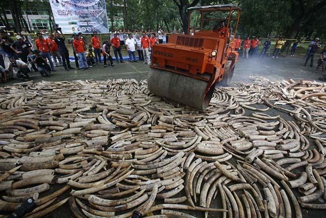 Elefántcsont megsemmisítése