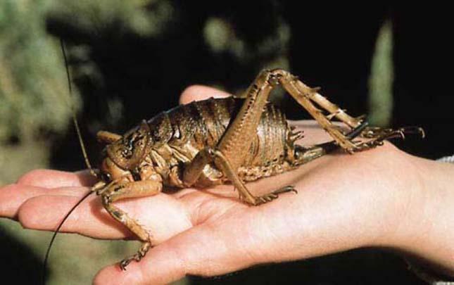 A világ legnagyobb rovarja - a Weta szöcske
