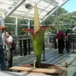 A világ legnagyobb virága, a titánbuzogány