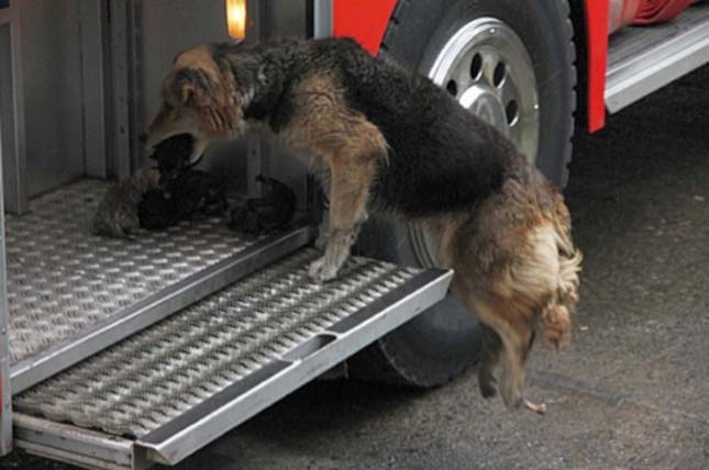 A legbátrabb kutya