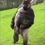 Ambam – a két lábon járó gorilla