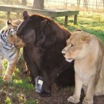 Három barát –  egy oroszlán, egy tigris és egy medve különleges barátsága