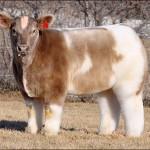 Bolyhos tehenek – az internetezők új kedvencei