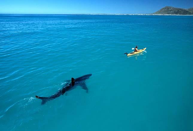nagy fehér cápa
