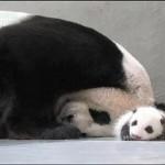 Így fogadta a pandamama a kölykét