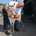Zebra-szamár kölyök született Firenzében