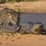 Ritka felvétel – Egy jaguár krokodilra vadászik