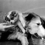 A világ legbizarrabb kísérlete – A kétfejű kutya