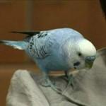 Eltévedt papagájok, akik elárulták a lakcímüket