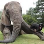 Egy árva elefánt és egy labrador hihetetlen barátsága