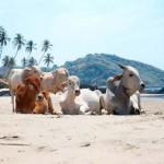 Cow Beach –  a tehenek kedvenc tengerpartja