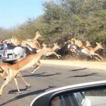 Autóba ugrott egy impala, hogy megmeneküljön a gepárdoktól