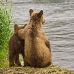 Csodálatos képek a kamcsatkai barnamedvékről