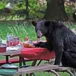 Piknikező medve – a valódi Maci Laci