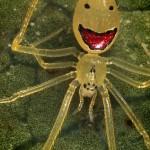 A hawaii mosolygó pók