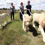 Protea Hotel Ranch Resort – ahol együtt sétálhatunk az oroszlánokkal