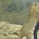 Találkozás a vadonba visszaengedett oroszlánnal
