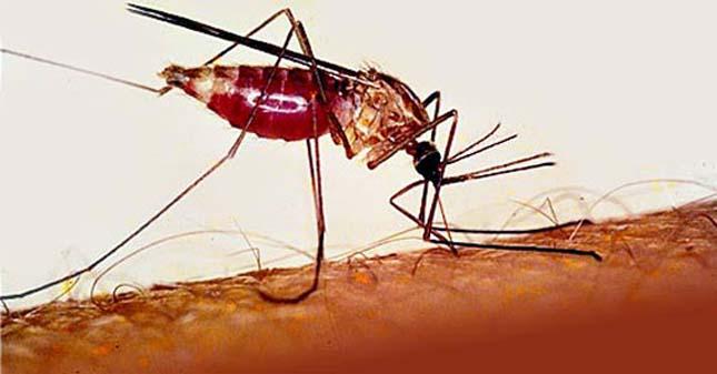 Maláriaszúnyog
