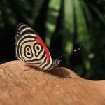 Egy különleges pillangó, aminek rajtszáma van