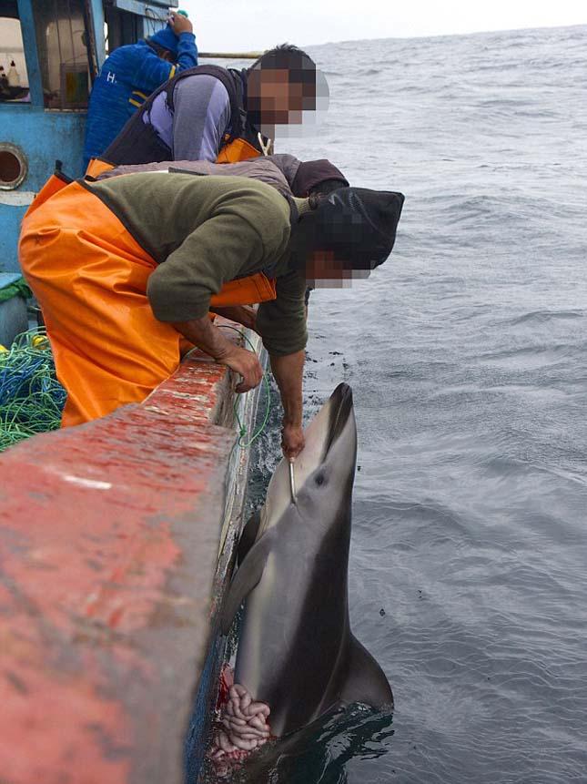 delfinvadászat