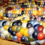 Egy amerikai farmer színes kukoricát kísérletezett ki